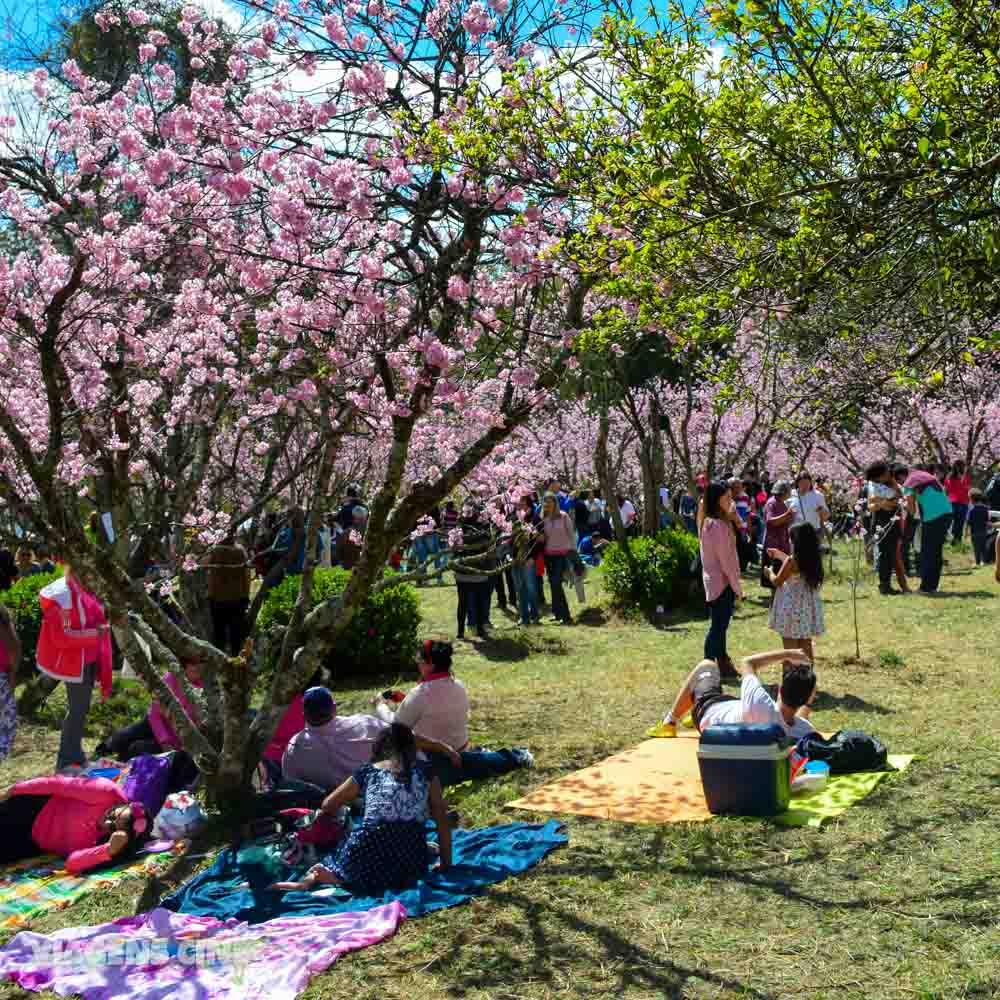Festival das Cerejeiras no Parque do Carmo São Paulo